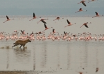 Spotted Hyena & flamingoes