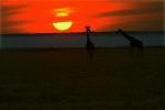 Giraffes and Mara sunset