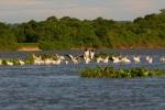 Sandbank.Pelicans and Jabiru on R Paraguay