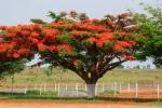 Flame trees by roadside