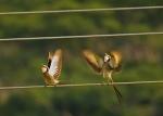 Fork Tailed Flycatcher