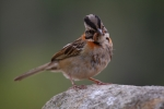 Ruffous Collared Sparrow