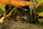 Ruffous Collared Sparrow chicks