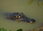 Black Caiman head in water
