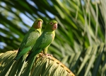 Yellow headed parrots