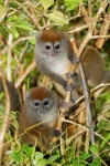Grey Bamboo Lemurs