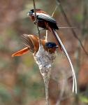 Malagassy paradise Flycatchers